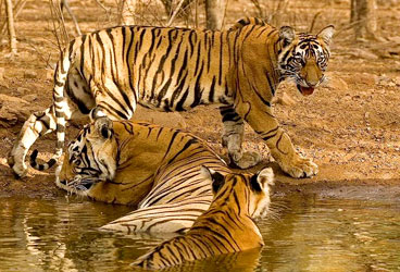 STEPiNN-RANTHAMBORE NATIONAL PARK